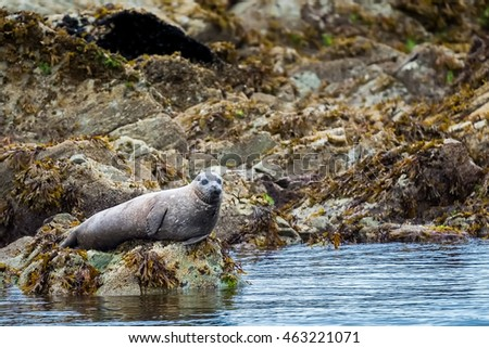 Spotted adult harbor seal resting on a rock shore near Ketchikan, Alaska