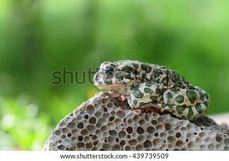 Spotted an earthen toad sitting on a stone, close-up. Bufo bufo. Green toad (Bufo viridis) Photo Macro - stock photo