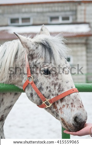 Spotted Appaloosa horse in a red halter, close up portrait - stock photo