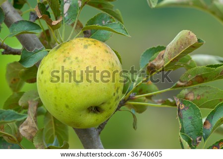 Spotted apple in an unattended orchard.