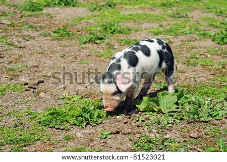spotted baby pig eating in a mud and grass field - stock photo