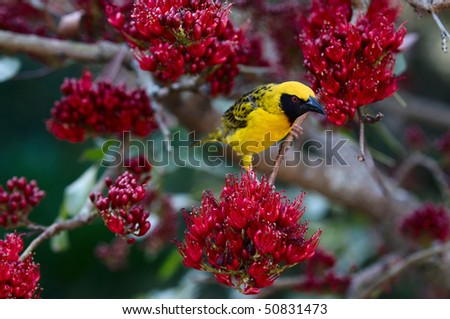 Spotted-backed Weaver in a Weeping Boer-bean tree - stock photo