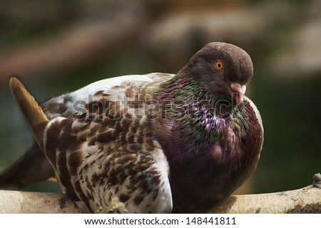 Spotted brown dove - stock photo