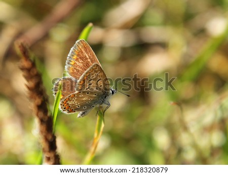 Spotted butterfly (Lycaenidae family) on the summer meadow - stock photo