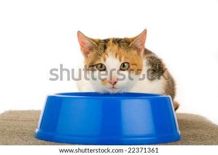 spotted cat and a food dish, isolated - stock photo