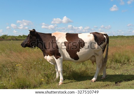 spotted cow standing in a field and looks into the distance - stock photo