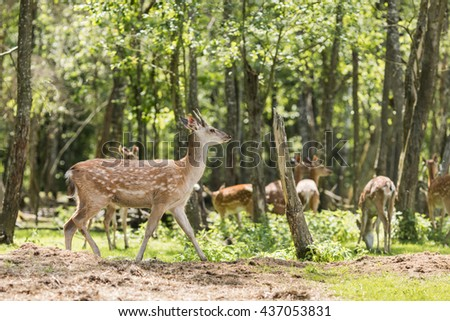 Spotted deer (Axis axis)  - stock photo