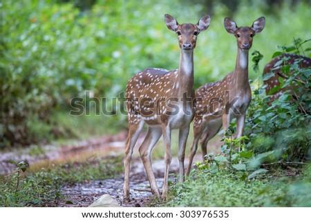 Spotted deers in habitat - stock photo