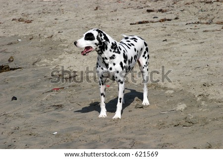 spotted dog at the Dog Beach - stock photo