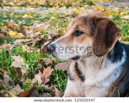 Spotted dog looking left thoughtfully in the fallen leaves