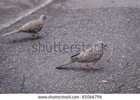 Spotted Dove (Streptopelia Chinensis) - stock photo
