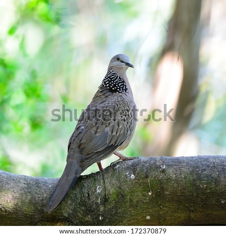 Spotted Dove (Streptopelia chinensis), perching on the log, back profile - stock photo
