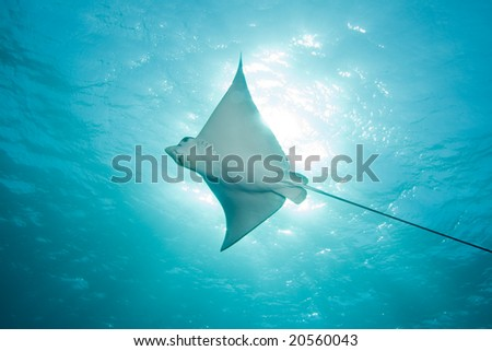 Spotted Eage Ray - stock photo