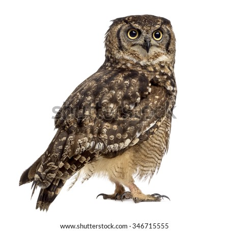 Spotted eagle-owl - Bubo africanus (4 years old) in front of a white background - stock photo