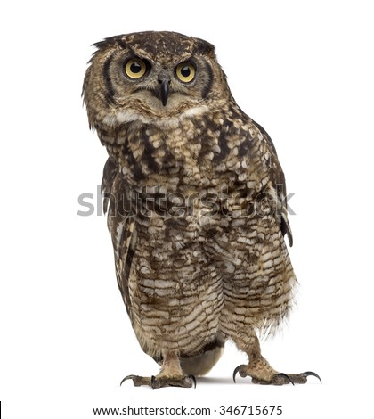 the background of the nocturnal bird northern spotted owl Northern spotted owl the northern spotted owl is a nocturnal perch-and-pounce predator that captures its prey is hard for the young birds.