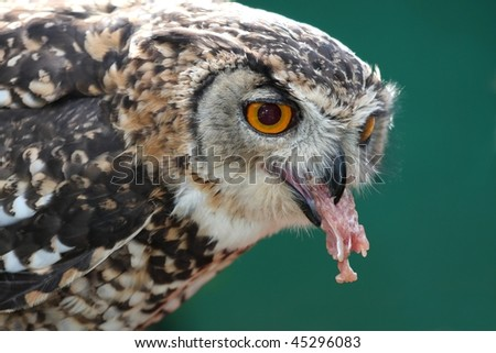 Spotted Eagle Owl eating from a dead chicken
