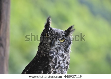 spotted eagle-owl facing me - stock photo