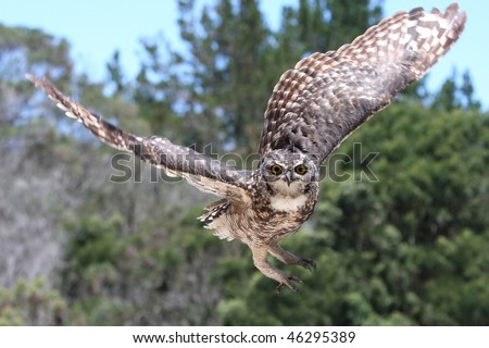 Spotted Eagle Owl raptor coming in to land - stock photo