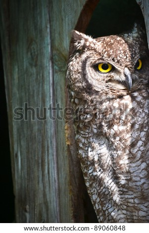 Spotted Eagle Owl watching - stock photo