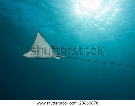Spotted Eagle Ray - stock photo