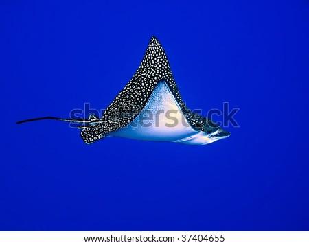 Spotted Eagle Ray(Aetobatis narinari). - stock photo