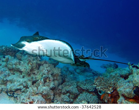 Spotted eagle ray (Aetobatis narinari) - stock photo
