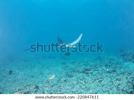 Spotted Eagle Ray (Aetobatus narinari) pass through coral reef. - stock photo