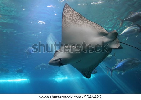 Spotted Eagle Ray and Giant Trevelly fish in Maui tropical waters - stock photo