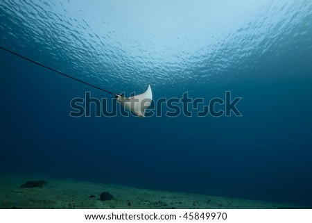 spotted eagle ray and ocean - stock photo