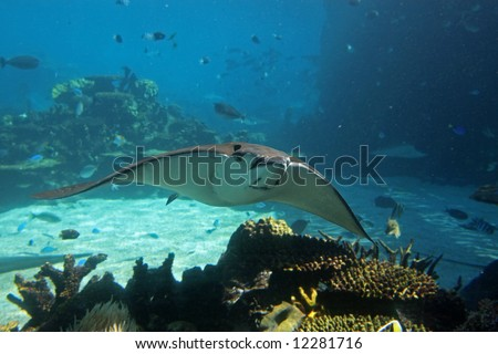 Spotted Eagle-rays (Aetobatus narinari) swimming over coral reef, with blue background. - stock photo