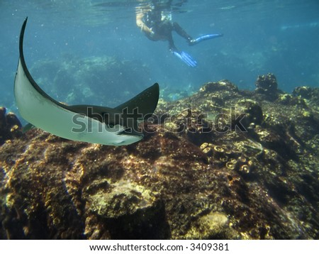 Spotted Eagle-rays (Aetobatus narinari) swimming over coral reef, with diver in background.