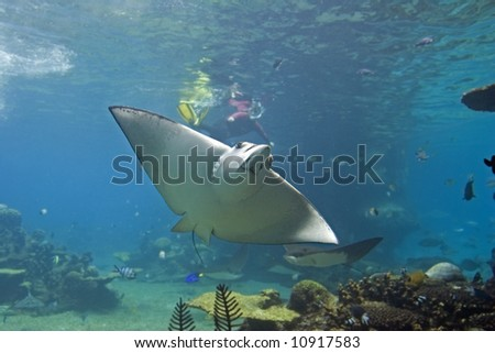 Spotted Eagle-rays (Aetobatus narinari) swimming over coral reef, with diver in the background. - stock photo