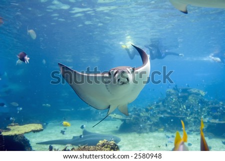 Spotted Eagle-rays (Aetobatus narinari) swimming over coral reef, with divers in the background. - stock photo