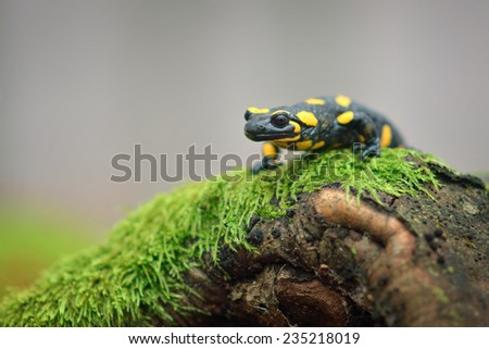 Spotted fire salamander in the forest - stock photo