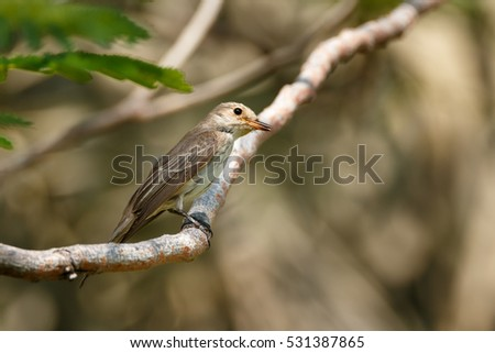 Spotted Flycatcher or Muscicapa striata perched on a tree in a garden in Bahrain