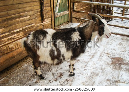 spotted goat standing near a wooden shed