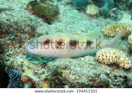 Spotted goatfish (Pseudupeneus maculatus) in the reef of the caribbean  - stock photo