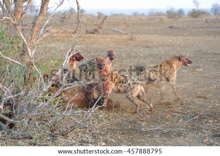 Spotted Hyaena (Crocuta crocuta) clan gather on a fresh kill in the bushveld, Timbavati area, South Africa - stock photo