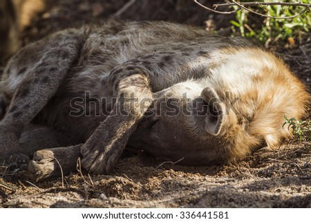Spotted hyaena in Kruger national park, South Africa ; Specie Ceratotherium simum simum
