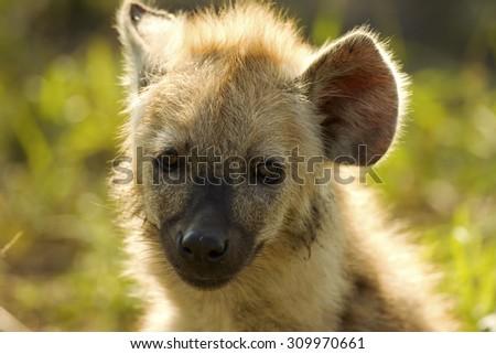 Spotted hyena - stock photo