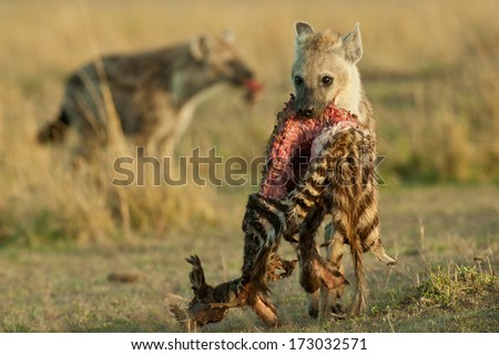 Spotted Hyena carrying dead Zebra carcass  - stock photo