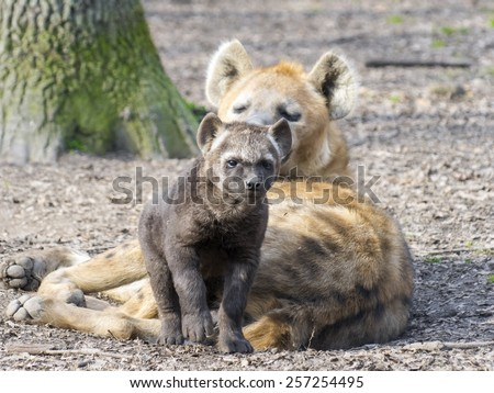 Spotted hyena (Crocuta crocuta) baby in a forest