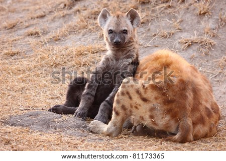 Spotted hyena cub with mother - stock photo
