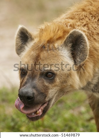 Spotted Hyena Eating - stock photo