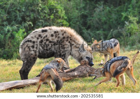 Spotted Hyena eating a elephant leg bone with jackal looking on