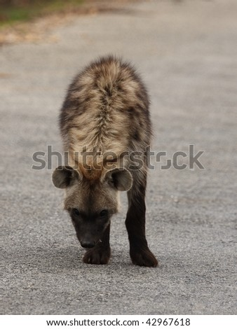Spotted Hyena front and top view.