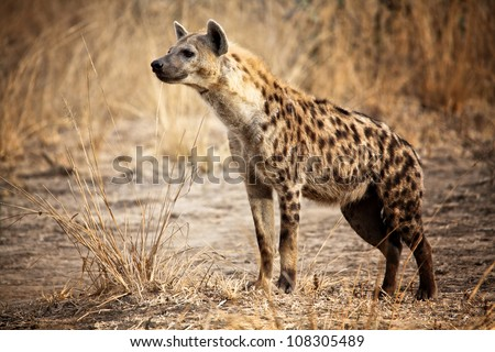 Spotted hyena in luangwa national park zambia - stock photo