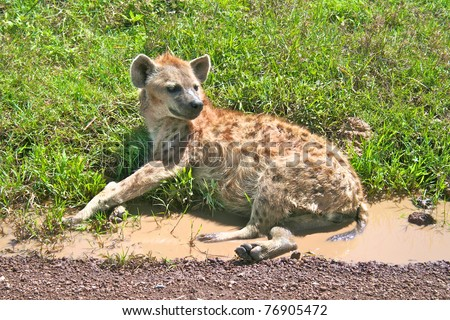 Spotted hyena resting on a road in Serengeti national park