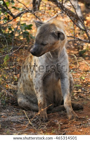 Spotted hyena sitting on ground, Kruger National Park