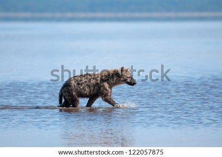 Spotted Hyena trawling the edges of Lake Nakuru, Kenya. - stock photo
